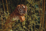 Tiger Leaping from Bamboo Forest Exklusivt fotoprint av  DLILLC