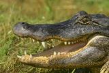 Alligator Fotografie-Druck von  DLILLC