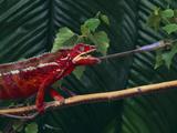 Panther Chameleon Reproduction photographique par  DLILLC