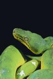 Emerald Tree Boa Fotografisk trykk av  DLILLC