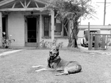 German Sheppard Mix Dog in the Front Yard, Ca. 1930. Photographic Print by Kirn Vintage Stock