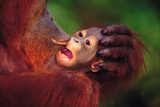 Mother Orangutan Kissing Baby Lámina fotográfica por  DLILLC