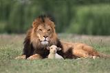Lion Sitting down with Lamb Opspændt lærredstryk af  DLILLC