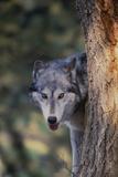 Gray Wolf Peering from behind Tree Trunk Fotoprint van  DLILLC