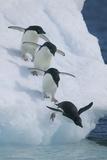 Adelie Penguins Fotografisk trykk av  DLILLC