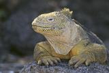 Land Iguana Reproduction photographique par  DLILLC