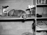 Dog Sits on a Shelf at Shelter in Oakland, California, Ca. 1963. Photographic Print by Kirn Vintage Stock