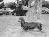 Dachshund on a Leash in Australia, Ca. 1955. Photographic Print by Kirn Vintage Stock