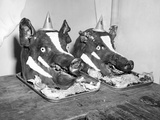 Two Well Decorated Roasted Pigs Heads in Australia, Ca. 1955. Photographic Print by Kirn Vintage Stock