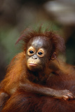 Baby Orangutan Clinging to Mother's Back Reproduction photographique par  DLILLC