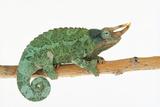 Jackson's Chameleon Lámina fotográfica por  DLILLC