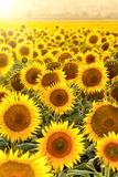 Sunflower Field at Sunset Fotografisk trykk av Davizro Photography