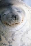 Weddell Seal Fotografie-Druck von  DLILLC