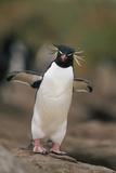 Rockhopper Penguin Perched on Rock Reproduction photographique par  DLILLC