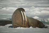 Walrus Sitting on an Iceberg Fotografie-Druck von  DLILLC