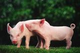 Two Affectionate Piglets Fotografisk tryk af  DLILLC