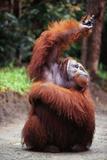Orangutan Reaching Up Fotografie-Druck von  DLILLC