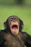 Chimpanzee Yawning Lámina fotográfica por  DLILLC