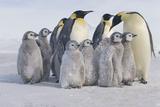 Group of Penguins Fotografisk tryk af  DLILLC