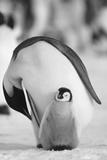 Adult Penguin with Chick Fotografisk tryk af  DLILLC
