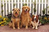 Airedale Mix, Golden Retriever and Basset Hound Reproduction photographique par  DLILLC