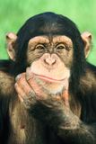 Pensive Chimpanzee Lámina fotográfica por  DLILLC