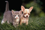 Kitten and Chihuahua Puppy Reproduction photographique par  DLILLC