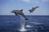 Bottlenosed Dolphins in Caribbean Sea Reproduction photographique par  DLILLC