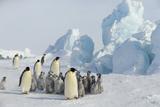 Emperor Penguins with Young Fotografisk tryk af  DLILLC