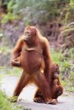 Orangutans on Path Fotografie-Druck von  DLILLC