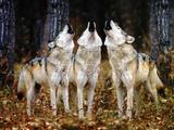 Lobos aullando Lámina fotográfica por  DLILLC