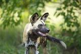 A Wild Dog Reproduction photographique par Richard Du Toit