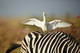 Cattle Egret on Zebra Fotografisk trykk av Richard Du Toit