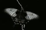 Papilio Lowi (Great Yellow Swallowtail, Asian Swallowtail) Photographic Print by Paul Starosta