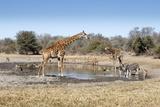 Giraffe and Zebra at Waterhole Reproduction photographique par Richard Du Toit