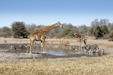 Giraffe and Zebra at Waterhole Fotografisk trykk av Richard Du Toit