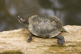 Red Eared Slider Turtle Reproduction photographique par Hal Beral