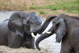 Elephant Bulls Play in Waterhole Fotografisk trykk av Richard Du Toit