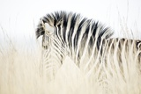 Zebra Walking in Tall Grass Fotografisk trykk av Richard Du Toit