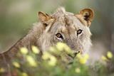 Subadult Male Lion Reproduction photographique par Richard Du Toit
