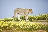 Lion Walking in Yellow Flowers. Reproduction photographique par Richard Du Toit