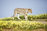 Lion Walking in Yellow Flowers. Fotografisk trykk av Richard Du Toit