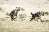 Young Spotted Hyenas Lámina fotográfica por Richard Du Toit