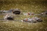 Hippos in the Rain Reproduction photographique par Richard Du Toit