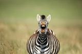 A Yawning Zebra Reproduction photographique par Richard Du Toit