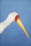 Yellowbilled Stork Portrait Reproduction photographique par Richard Du Toit