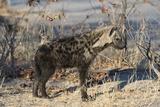 Spotted Hyaena Lámina fotográfica por Sergio Pitamitz