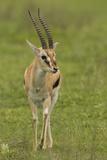 Thompson's Gazelle Fotografie-Druck von Joe McDonald