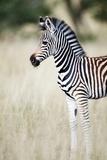 Zebra Baby Reproduction photographique par Richard Du Toit