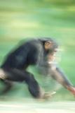 Running Chimp Reproduction photographique par  DLILLC